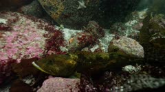 California - Monterey Bay - Lingcod (Ophiodon elongatus) in Giant Kelp Forest