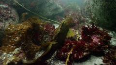 California - Monterey Bay - Lingcod (Ophiodon elongatus) in Giant Kelp Forest
