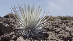 Hawaii Island - Mauna Kea - Silversword Plant (Argyroxiphium sandwicense)