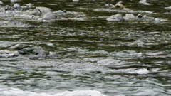 Washington State - Olympic Peninsula - American dipper (Cinclus mexicanus) foraging in River