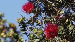 Hawaii Island - Native Bird - Rainforest Habitat - Ohia Lehua (Metrosideros polymorpha)