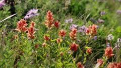 Washington State - Mount Rainier Flowers - Scarlet Paintbrush (Castilleja miniata)