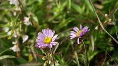 Washington State - Mount Rainier Flowers - Subalpine Daisy (Erigeron peregrinus)