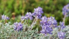 Washington State - Mount Rainier Flowers - Dwarf Lupine (Lupinus lepidus)