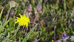 Washington State - Mount Rainier Flowers - Alpine Gold Daisy (Erigeron aureus)