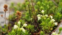 Washington State - Mount Rainier Flowers - White Mountain Heather (Cassiope mertensiana)