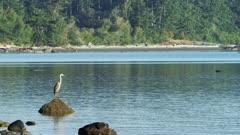 Washington State - San Juan Island - Great Blue Heron (Ardea herodias)