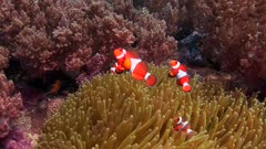 Drifting Over Coral Reef With Clown Fish