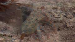 Blue Ringed Octopus In Tide Pool