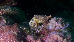 Blue Ringed Octopus Walking On Coral Reef