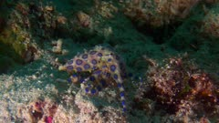 Blue Ringed Octopus Digging In Sand