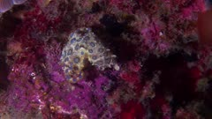 Blue Ringed Octopus Swimming