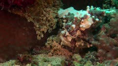 Warty Frogfish Fishing With Lure