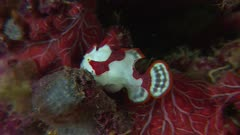 Clown Frogfish Feeding On Shrimp