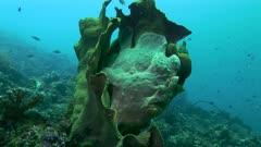 Giant Frogfish In Cabbage Coral