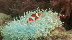 Clown Fish In White Anemone