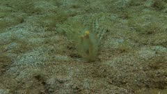 Melibe Nudibranch Feeding On Sand