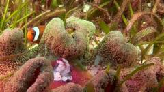 Saddle Back Anemonefish In Anemone