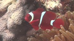 Spinecheek Anemonefish In Anemone