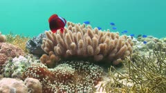 Tomato Anemonefish On Coral Reef