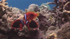 Two Male Tomato Anemonefish Fighting For Female