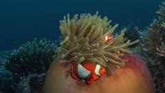Clownfish In Open Orange Anemone