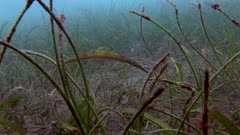 Double Ended Pipefish In Sea Grass