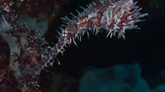 Red Harlequin Ghost Pipefish On Wall