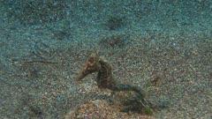 Lemure Tail Seahorse On Sand