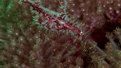 Red Harlequin Ghost Pipefish In Soft Coral
