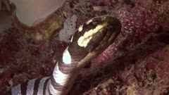 Banded Sea Snake Sticking Out Tongue