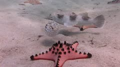 Porcupinefish Blowing Up And Stargazer