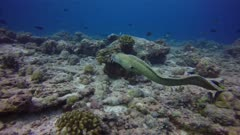 free swimming honey comb moray eel