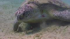 Green Sea turtle eating seagras