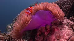 Clownfish in purple anemone