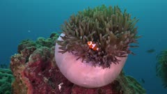 Clownfish in pink anemone