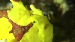 frogfish opening mouth