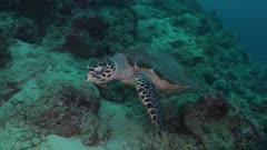hawksbill turtle swimming along reef