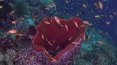 Sponge on coral reef