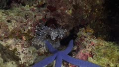 anemone feeding on sea star