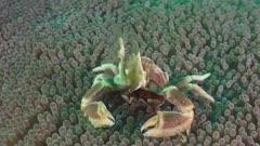 porcelain crab feeding