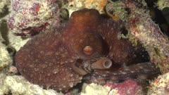 Starry night octopus