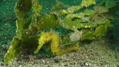 Thorny seahorse yellow