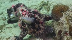 Giant Frogfish feeding on sardine