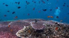 Table coral Video Decor