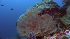 Sea fan with reef fishes