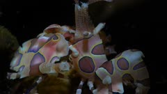 Harlequin Shrimp close up at night