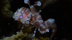 Harlequin Shrimp waving it's claw at night
