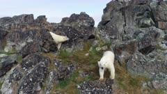 Polar bear on the rocky island in summer