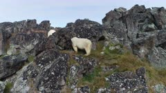 Polar bear on the rocky island in summer